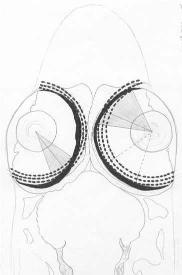 Vision In Cichlids By Dr H J Van Der Meer